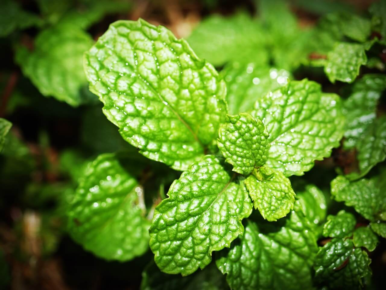 5 Things You May Not Know About Peppermint